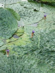 大仏君の日記帳(高岡市観光協会のブログ)-オニバス(氷見市の十二町潟水郷公園)