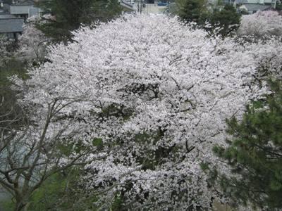 大仏君の日記帳(高岡市観光協会のブログ)-高岡古城公園の桜