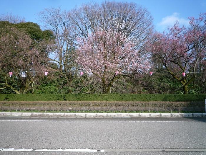 古城公園コシノヒガンザクラ