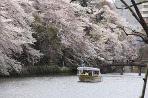 遊覧船と桜1